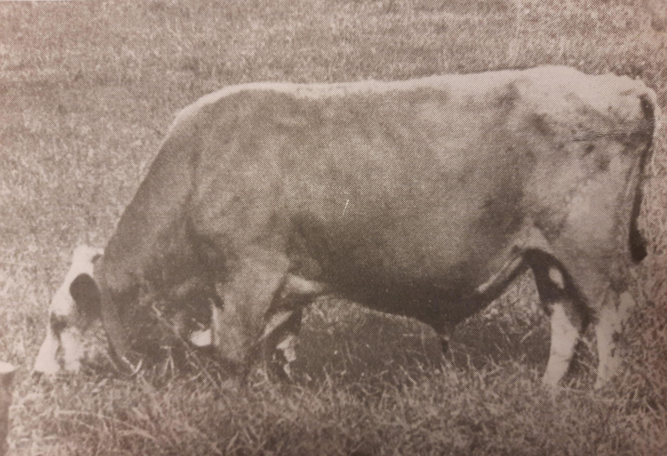 Mustavalkoinen kuva itäsuomenkarjan sonni Saku