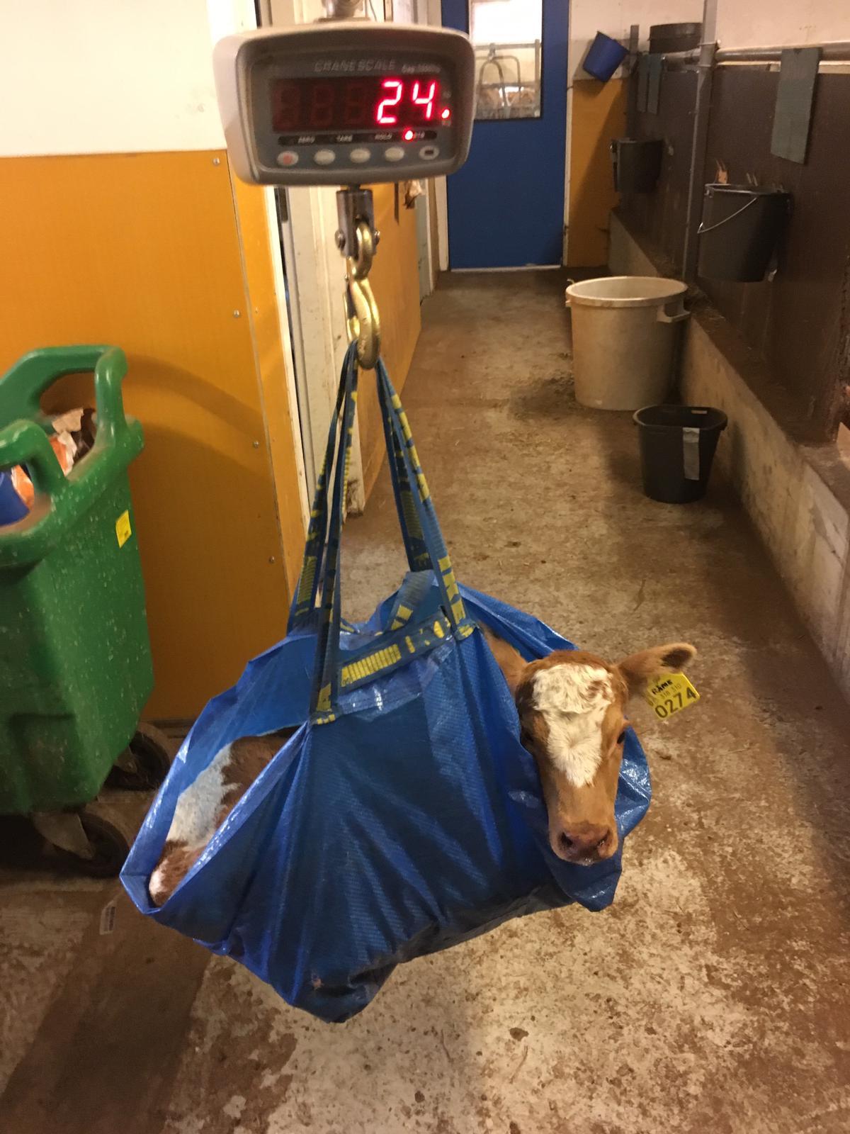 Suomenkarjan vasikka punnituksessa sinisessä Ikea-kassissa