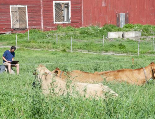 Ahlmanin Neilikka-lehmä tutkimussähköä louhimassa