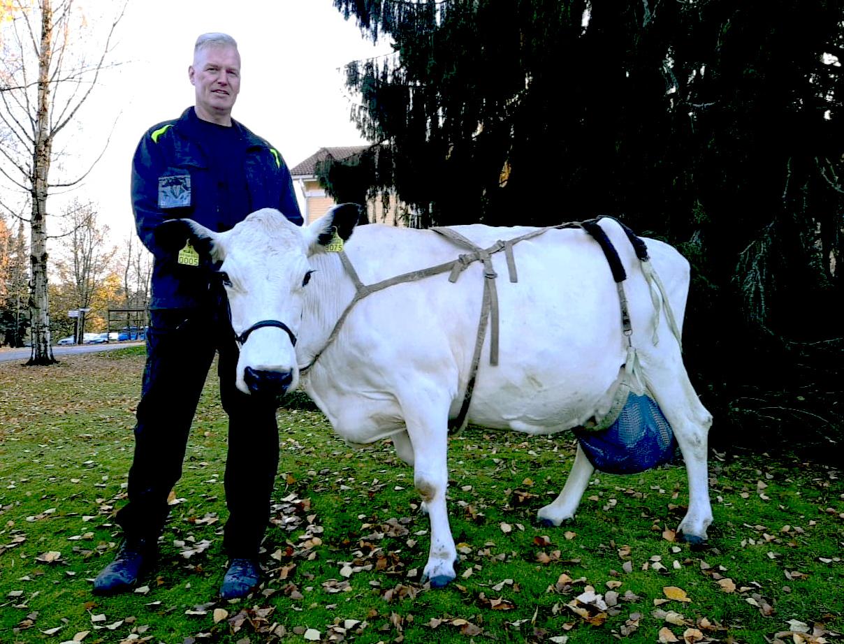 Pohjoissuomenkarjan valkoinen lehmä Ylläs ulkona maatilamestarin kanssa