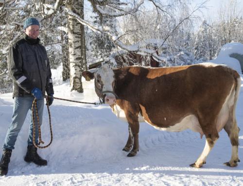 Itäsuomenkarjan lehmä Koivulinnan Mirva muutti Ahlmanin navettaan