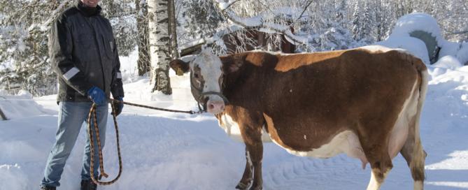 Maatilamestari Harri Ala-Kapee ja itäsuomenkarjan lehmä Koivulinnan Mirva ulkona