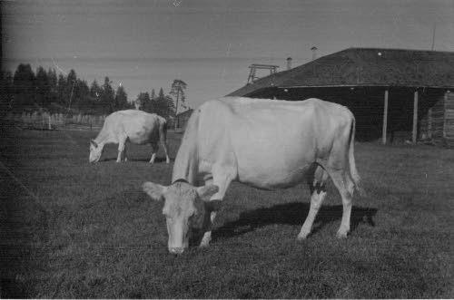 SA-kuva Lehmiä Kemijärven lentokentän äärellä Kemijärvi, Ketola 1941.09.15