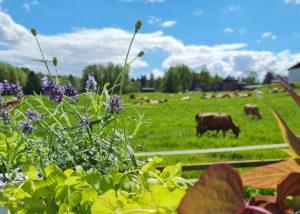 kukkaistutukset, lehmiä taustalla