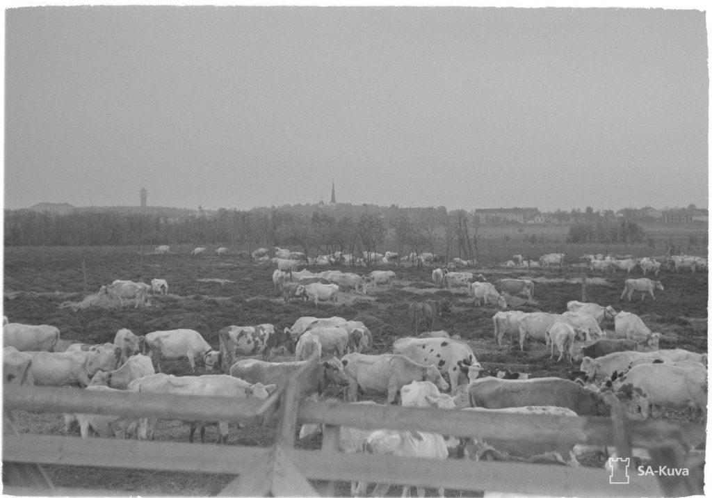 Mustavalkoinen kuva pohjoissuomenkarja lähdössä evakkoon Haaparannassa