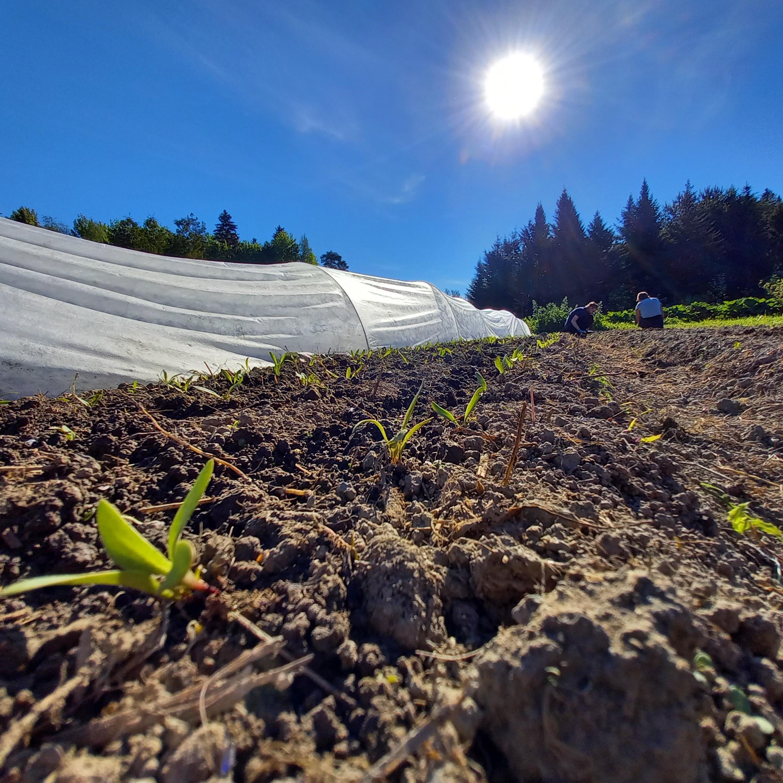 lähikuva multaisesta maanpinnasta, jossa kasvaa vihreitä taimia