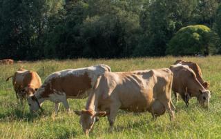 Ahlmanin suomenkarjan lehmät laitumella heinäkuussa