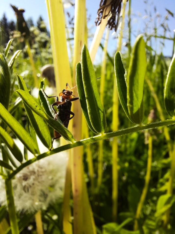 kovakuoriainen kasvin lehdellä