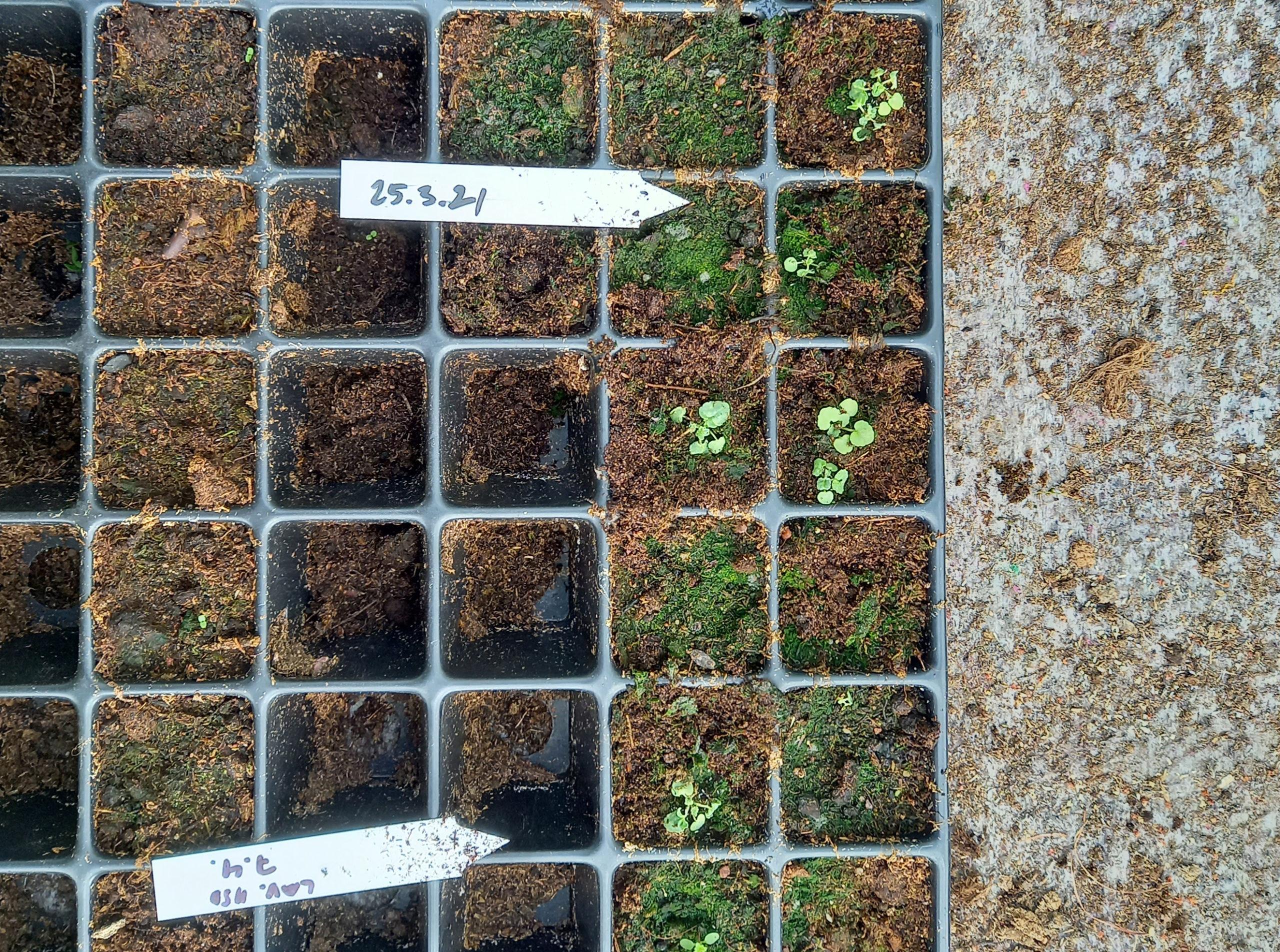 pieniä kasvien taimia kasvatuskennossa